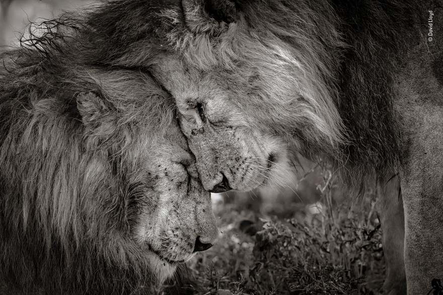 Bond of Brothers by David Lloyd, New Zealand / UK - Wildlife Photographer of the Year Launches LUMIX People's Choice Award