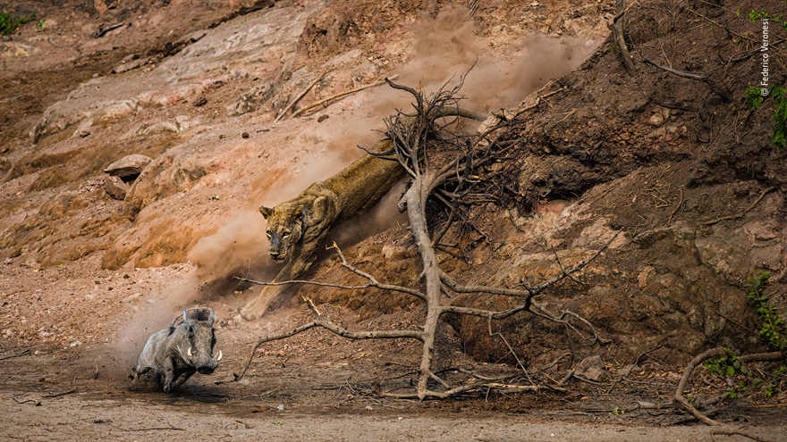 Ambush by Federico Veronesi, Kenya - Wildlife Photographer of the Year Launches LUMIX People's Choice Award