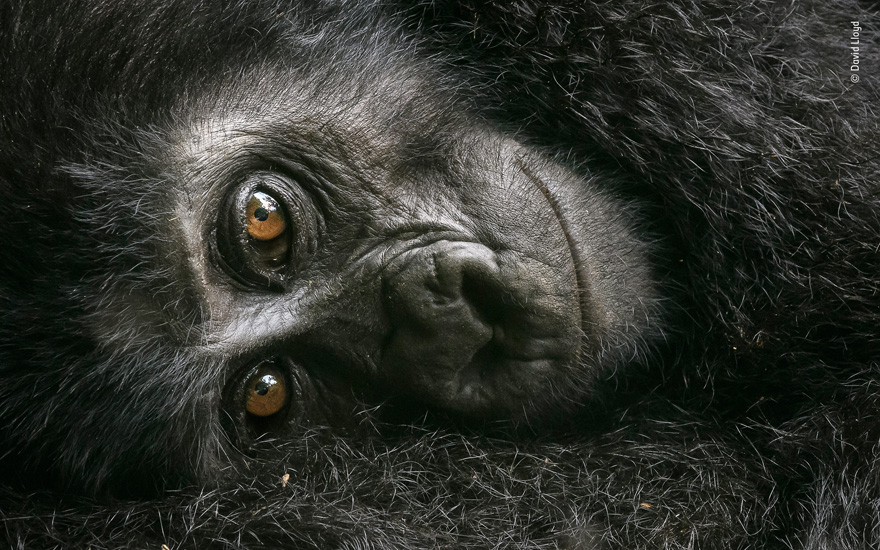 Resting Mountain Gorilla by David Lloyd - Wildlife Photographer of the Year Launches LUMIX People's Choice Award