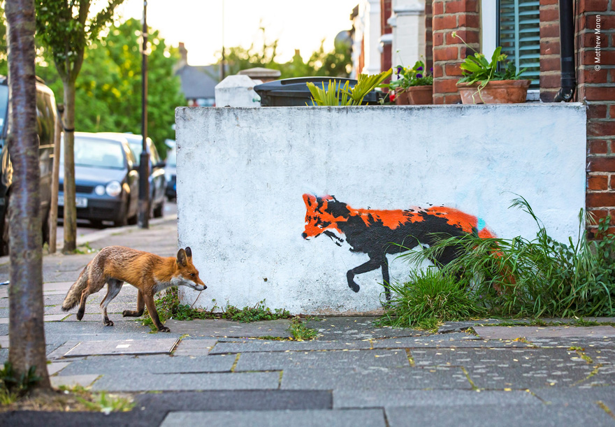 Fox Meets Fox by Matthew Maran, UK - Wildlife Photographer of the Year Launches LUMIX People's Choice Award