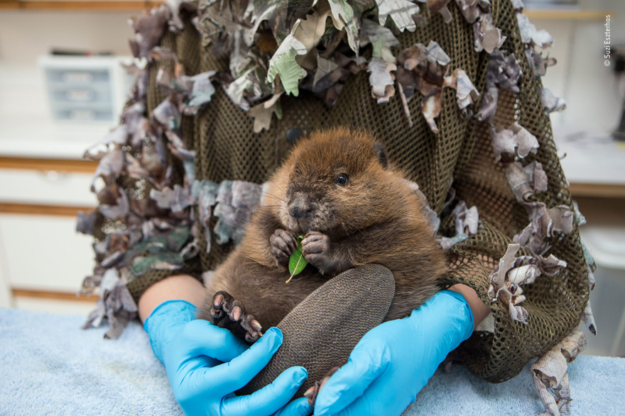 The Orphaned Beaver by Suzi Eszterhas, United States - Wildlife Photographer of the Year Launches LUMIX People's Choice Award
