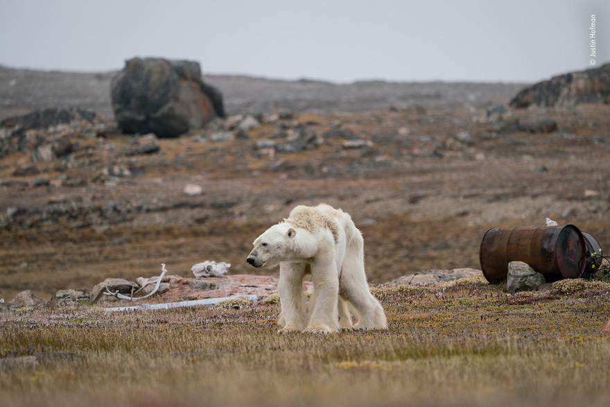 A Polar Bear's Struggle by Justin Hofman, USA - Wildlife Photographer of the Year Launches LUMIX People's Choice Award