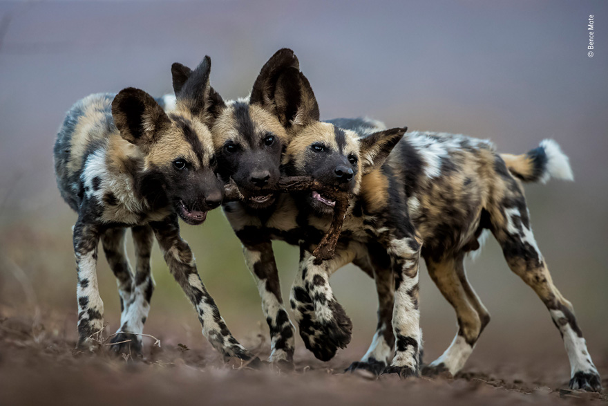 One Toy, Three Dogs by Bence Mate, Hungary - Wildlife Photographer of the Year Launches LUMIX People's Choice Award