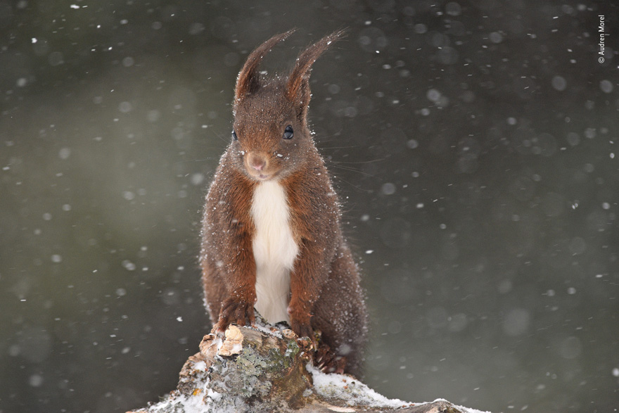 Under the Snow by Audren Morel, France - Wildlife Photographer of the Year Launches LUMIX People's Choice Award