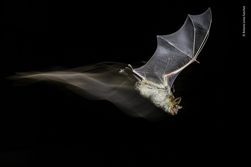 The Bat's Wake by Antonio Leiva Sanchez, Spain - Wildlife Photographer of the Year Launches LUMIX People's Choice Award